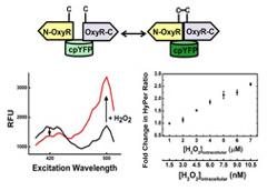 quantifying intracellular hydrogen-1 copy